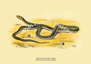 YELLOW-FACED WHIPSNAKE, YELLOW-FACED WHIP SNAKE  - (Diemenia psammophis, Schlegel